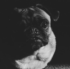 charlie2 (HOOVER14) Tags: camera white black max k t pentax kodak tmax pug charlie and 100 wyoming 1000 the in filmmills