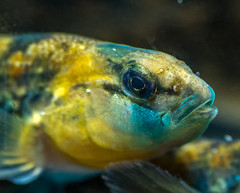 Orangethroat Darter (Etheostoma spectabile)