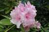 IMG_3053.JPG (robert.messinger) Tags: flowers rhodies
