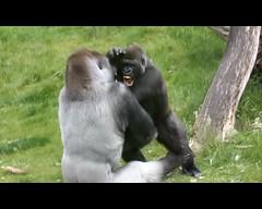 Bokito, the family man (K.Verhulst) Tags: rotterdam blijdorp gorilla ape monkeys silverback blijdorpzoo apen diergaardeblijdorp zilverrug mensaap nasibu bokito