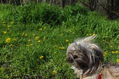 Lelah (bbandaa) Tags: flowers summer dog yorkie grass canon puppy weed day walk leash shitzu doge