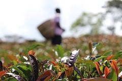 Beyond the Purple Tea Leaves (JusTeaKenya) Tags: africa travel plant nature photography scenery tea kenya farm handcrafted teagarden partner ethical tealeaf teafield justea directtrade farmerdirect purpletea