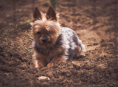 Lil Man Cooling off in garden (shutterbugluv88) Tags: dog pet yorkie tennessee summertime nikon85mmmicro