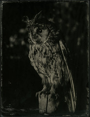 (case-ie) Tags: birds dead stuffed ambrotype wetplate largeformat collodion asiootus wholeplate 65x85inch woodentravelcamera dallmeyer3d