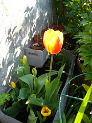 20160505_Terrasse_02 (weisserstier) Tags: plant spring pflanze terrasse tulip tulipa frhling tulpe