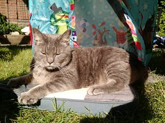Banks (milov) Tags: cats cute grass animals garden phonecam fur sunny tent banks motox graycat greycat tweetme fbme mattras instagram