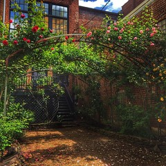 Week 17 - Urban landscape (davekrovetz) Tags: pink flowers red roses yellow garden downtown charlottesville urbanlandscape dogwood52 dogwoodweek17