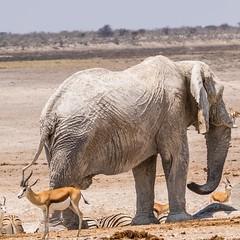 CAC_1164-20150924 (C&P_Pics) Tags: na zebra waterhole bovidae namibia springbok africanelephant burchellszebra etoshanationalpark oshikoto halalicamptookaukuejocamp