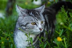 My neighbors cat 2 (Alias_Axel_Ryder) Tags: 6 stone cat canon eos bokeh d carlos steine 24 gras axel katze grn augen ryder tamron 70 stein rushes kater schilf pfoten schwanz ohren schnurren drausen