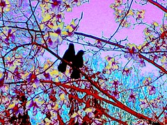 2 on a branch (Sonja Parfitt) Tags: tree manipulated explore magnolia blackbirds