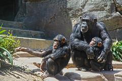 Two young chimpanzees with an adult male. (Alexandra Rudge.Getting ready new laptop!) Tags: naturaleza nature animal animals zoo monkey chimp animales pan chimps animalia mammalia losangeleszoo primates monos chimpance zoologico pantroglodytes mamifero chordata hominidae panina homininae hominini chimpazees zoologicodelosangeles alexandrarudge zoologicodecalifornia alexandrarudgeanimals alexandrarudgelosangeleszoo alexandrarudgeimages alexandrarudgephotography chimpanzeesatlosangeleszoo youngchimpanzess chimpacesjovenes