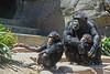 Two young chimpanzees with an adult male. (Alexandra Rudge. Taking time off due to illness!!!) Tags: naturaleza nature animal animals zoo monkey chimp animales pan chimps animalia mammalia losangeleszoo primates monos chimpance zoologico pantroglodytes mamifero chordata hominidae panina homininae hominini chimpazees zoologicodelosangeles alexandrarudge zoologicodecalifornia alexandrarudgeanimals alexandrarudgelosangeleszoo alexandrarudgeimages alexandrarudgephotography chimpanzeesatlosangeleszoo youngchimpanzess chimpacesjovenes