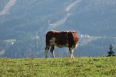 Ramsau Steiermark PICT0002 (reinhard_srb) Tags: panorama berg kuh weide wiese alm gras wald steiermark milch sonnenschein landleben ramsau stier fernblick baumwipfel sonnalm