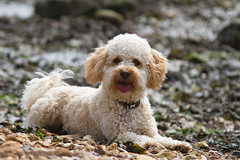 Barney (Donna Apsey - http://donnaapsey.zenfolio.com/) Tags: dog pet cute puppy furry play fluffy playful cavadoodle cavapoo