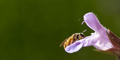 Bienenfresser ?? ( eulenbilder - berti ) Tags: blumen mai blte garten biene besuch salbei