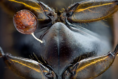 Studio stack: Phoretic Mite (johnhallmen) Tags: insect arachnid beetle mite phoretic nikonpb6bellows cognisysstackshot morfanon sonynex7 mitutoyomplanapo10028 uropodidae uropoda