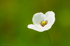 (Alin B.) Tags: white flower nature spring mac may mai poppy maci alinbrotea