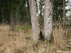 fringe (blinq) Tags: wood trees tree forest woods fringe edge lichen wald bume baum rand forestedge waldrand edgeoftheforest flechten