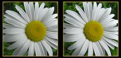 Daisy 2 - Crosseye 3D (DarkOnus) Tags: wild flower macro closeup lumix stereogram 3d crosseye weed pennsylvania panasonic stereo daisy bloom stereography buckscounty crossview dmcfz35 darkonus