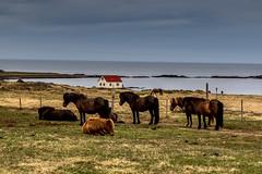 Horses at Hindisvik (Sweet Cheeks Adventures) Tags: iceland midnightsun remoteness wildandwoolly sweetcheeksadventures