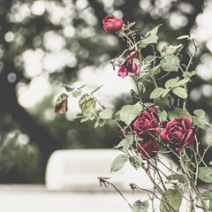 Roses - Above the Trailer Series (StoryWorks by Suzette) Tags: red roses trailerpark lensbabypractice