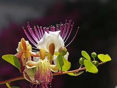 capper flower (ludi_ste) Tags: light white flower purple fiore viola petali bianco luce capper cappero