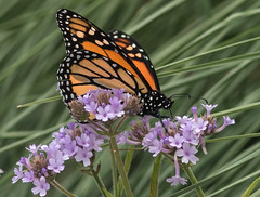 Monarch (cetch1) Tags: wild nature butterfly wildlife butterflies insects monarch napa monarchbutterfly