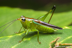 Katydid (Shamsul Hidayat Omar) Tags: lens photography nikon bio 55mm malaysia omar katydid tettigoniidae selangor biodiversity hidayat micronikkor greatphotographers shamsul kepelbagaian d800e