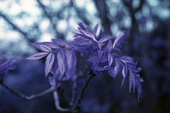 film (La fille renne) Tags: plants film nature analog 35mm lomography purple bokeh outdoor minoltax700 50mmf2 lomochrome lafillerenne lomochromepurple lomochromepurplexr100400