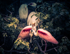 _80A0159-73 (cynaZZam photOGraphy) Tags: pink white galveston nature birds canon outdoors texas sanctuary avian spoonbills egrets highisland cynazzam