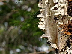 Peeling Birch bark (clickclique) Tags: tree forest peeling bark birch ragged