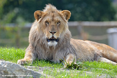 African lion - Zoo Parc Overloon (Mandenno photography) Tags: animal animals lion lions dieren dierentuin dierenpark overloon zooparc