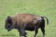 Colorado Buffalo (penadigitalimages) Tags: buffalo colorado sigma sooc nikond7000 peasdigitalimages 150600c