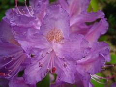 rhododendron (VERUSHKA4) Tags: purple macro canon europe moscow russia botanic garden park stamen petal pistil summer season june album flora beautiful rhododendron verdure green blossom