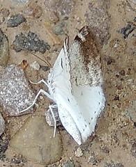 6666  Bluish Spring Moth  Lomographa semiclarata (Anita363) Tags: white black fauna insect pennsylvania small moth may lepidoptera pa geometridae ennominae dorsal fallingwater bmna ventral lomographa bearrunnaturereserve stewarttownship lomographasemiclarata bluishspringmoth