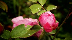 Rain Drops on the Small Rose (drbekirbulut) Tags: flower nature rain rose leaf redrose drop horn pinkred rosehorn