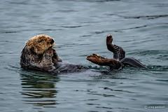 I'm SO tired!  TGIF! (craig goettsch) Tags: water mammal harbor nikon ngc floating npc d750 raft seaotter mosslanding 600mm jettyroad