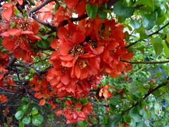 Quince (Bebopgirl1969) Tags: orange flower quince