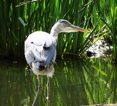 Oiseau<>bird  (Heron) (France-) Tags: lagune canada bird heron nature vancouver eau oiseau 97 parcstanley