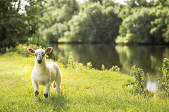 Look at those ears! (powellspin) Tags: field sheep lamb riverthames medmenham