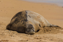 monkseal5Jun17-16 (divindk) Tags: hawaii hawaiianislands kauai neomonachusschauinslandi beach cute endangeredspecies hawaiianmonkseal lazy marine marinemammal monkseal seal sunshine whiskers