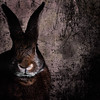 Seriously Bunny (Jeric Santiago) Tags: pet rabbit bunny animal conejo lapin hase kaninchen うさぎ 兎 compositephotography winterrabbit