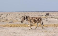 PGC_7346-20150925 (C&P_Pics) Tags: na namibia burchellszebra etoshanationalpark oshana okaukuejocamptodolemitecampandhobarterelodge