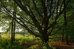 Buche am Fischteich - 2016 - 0001_Web (berni.radke) Tags: tree giant baum beech buche colossus riese fischteich dlmen hausdlmen