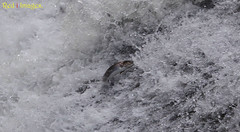 The battle rages on. (northernkite) Tags: sea water river scotland north salmon falls fresh rapids spawn cataract banchory headwaters feugh