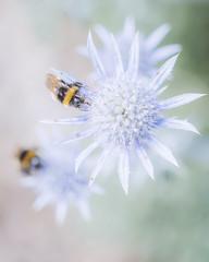 Bees on thistles (Mrs_Hadfield) Tags: plant flower macro nikon bees thistles 105mm d600