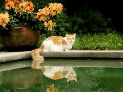 the floating tail (Ani Carrington) Tags: orange green water cat garden ginger pond orangecat tail gingercat