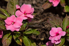 Divine Pink Improved New Guinea Impatiens (Tim Stinger) Tags: new pink guinea tim arboretum divine stinger improved morton impatiens mortonarboretum divinepink divinepinkimprovednewguinea divinepinkimprovednew timstinger divinepinkimprovednewguineaimpatiens divinepinkimproved