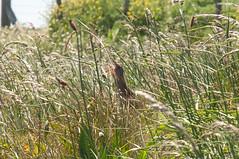 Calling Crake (thesetter) Tags: scotland alba tiree isleoftiree crake wildbird corncrake crexcrex landofcorn