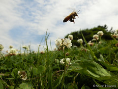 Apis mellifera (Shiori Hosomi) Tags: flowers plants japan tokyo may insects bee  fabaceae  apis trifolium hymenoptera 2016      apidae  fabales          23    entomon